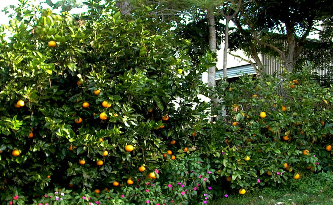 Citrus [CCBY-SA SteveSwayne]