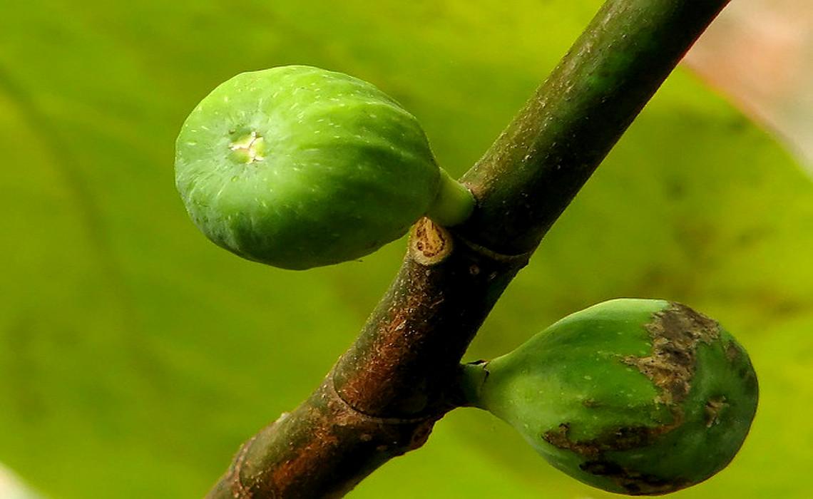 Fig [CCBY NoëlZiaLee]