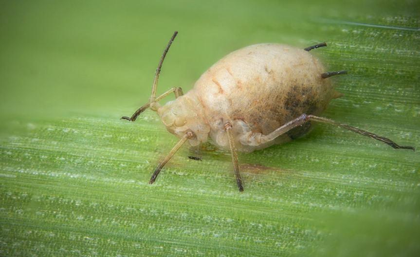 Pest [CCBY-SA GillesSanMartin]