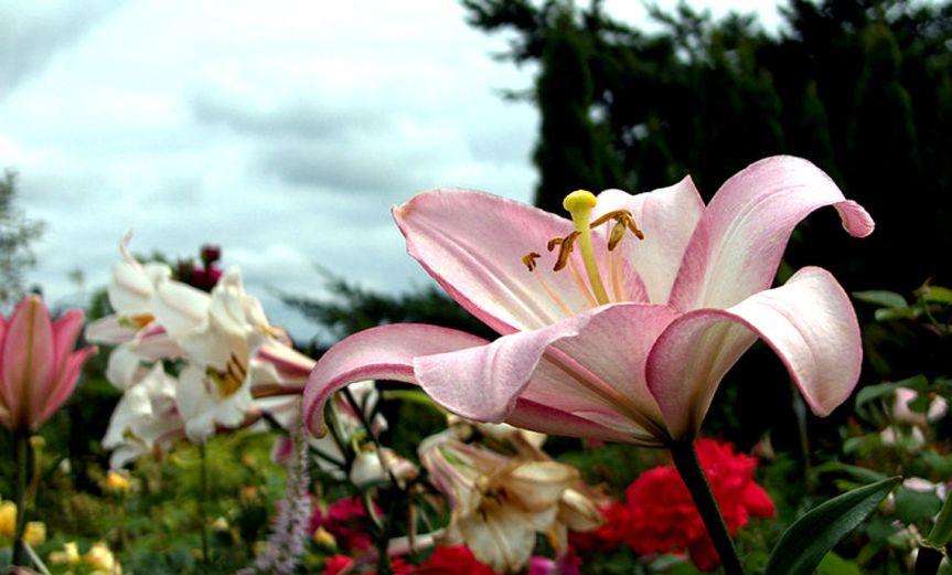 PinkBlossom [CCBY-SA gillicious]