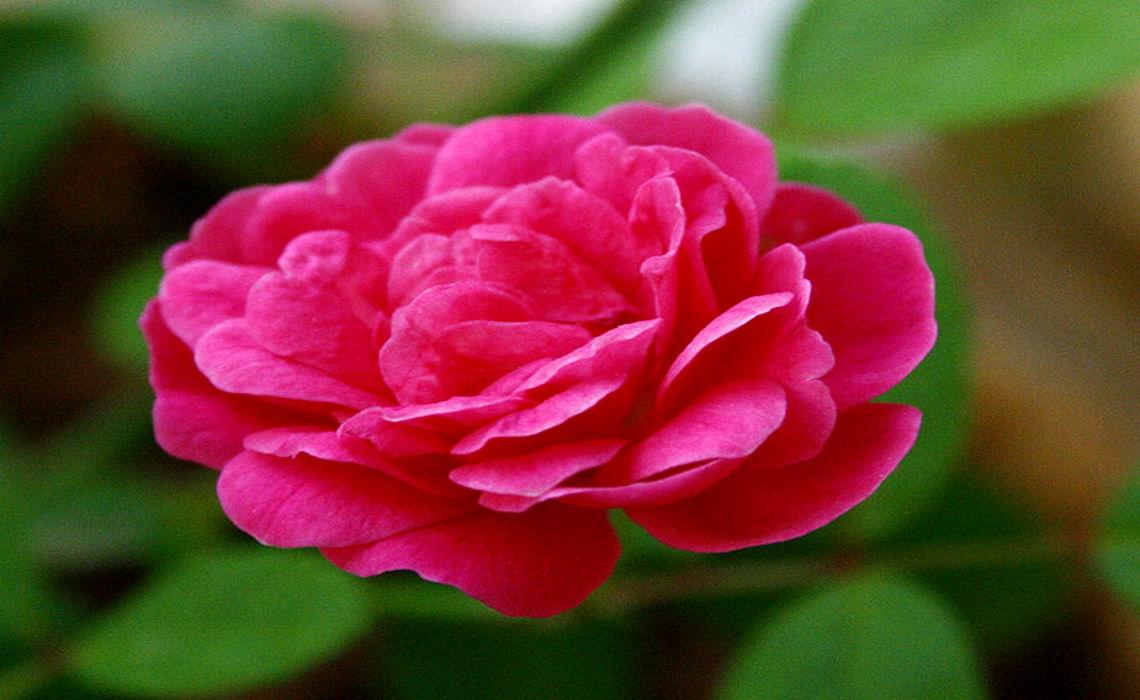 RoseBlossom [CCBY Swaminathan]