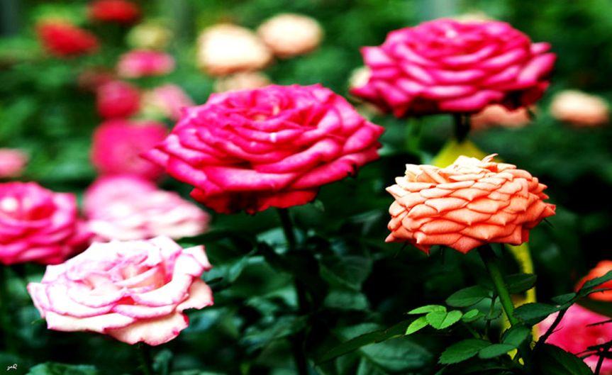 Roses [CCBY Zaqqy]