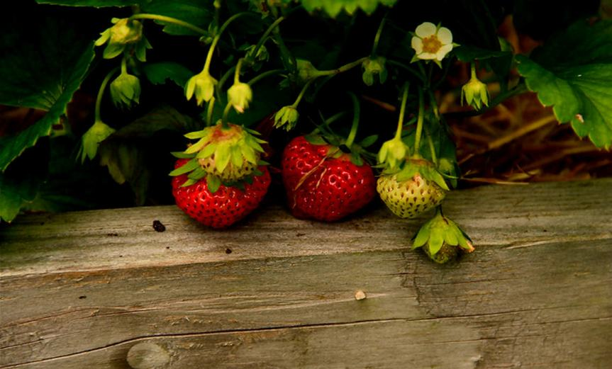 StrawberryPatch [CCBY ChrisBurke]