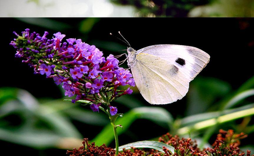 Butterfly [CCBY-SA MoniSertel]