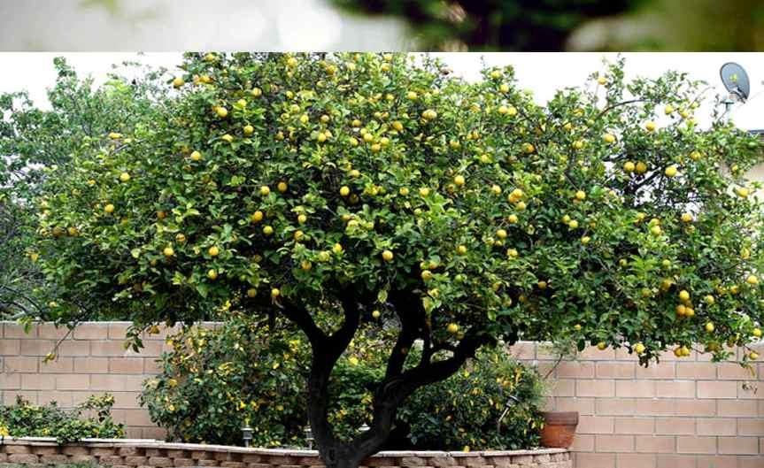 LemonTree [CCBY Nancy]