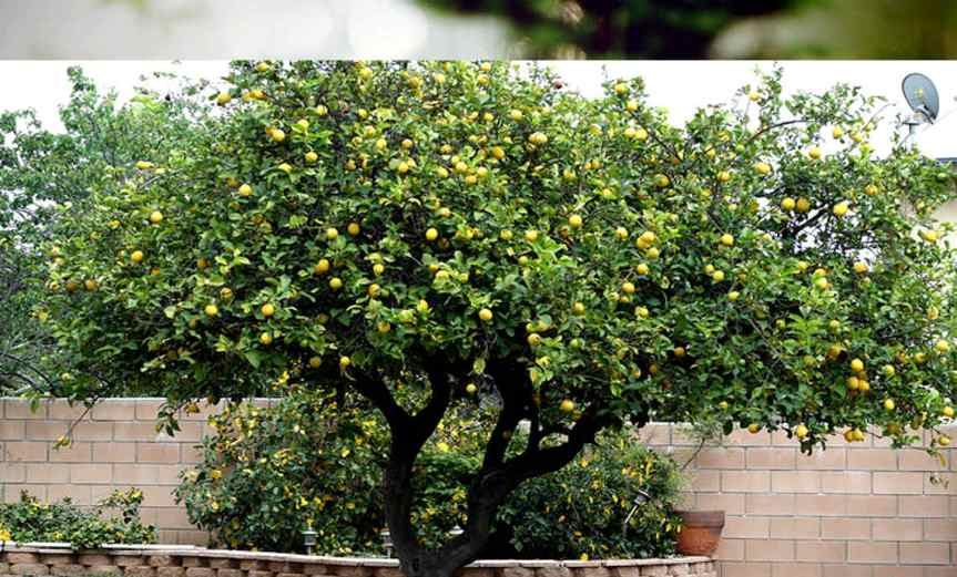 LemonTree [CCBY Nancy]