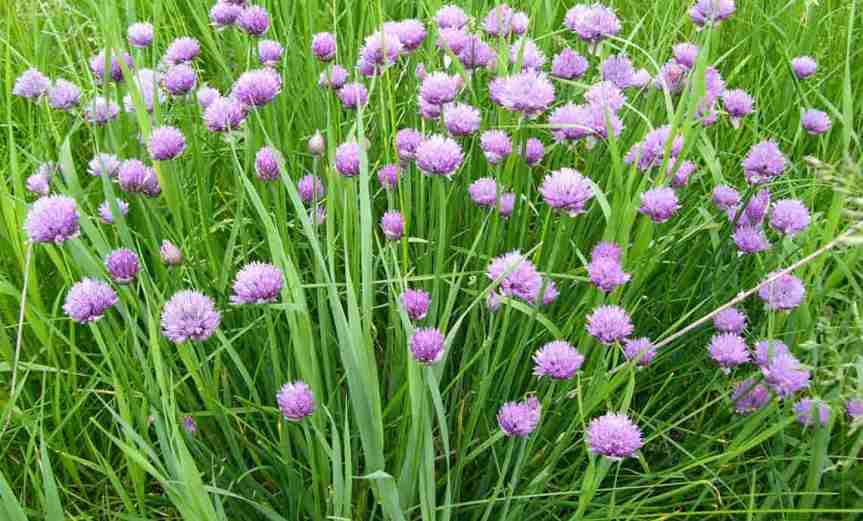 Chives [CCBY MikePowler]