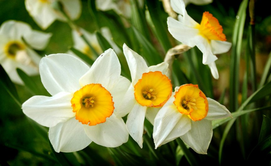 Daffodil [CCBY VinceAlong]
