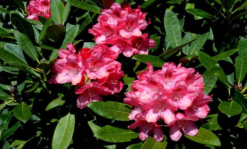 Rhododendron [CCBY freephotos]