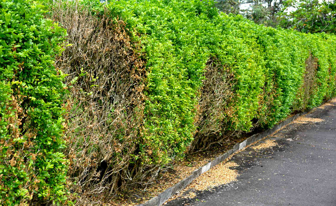 Hedge [CCBY-SA ScotNelson]