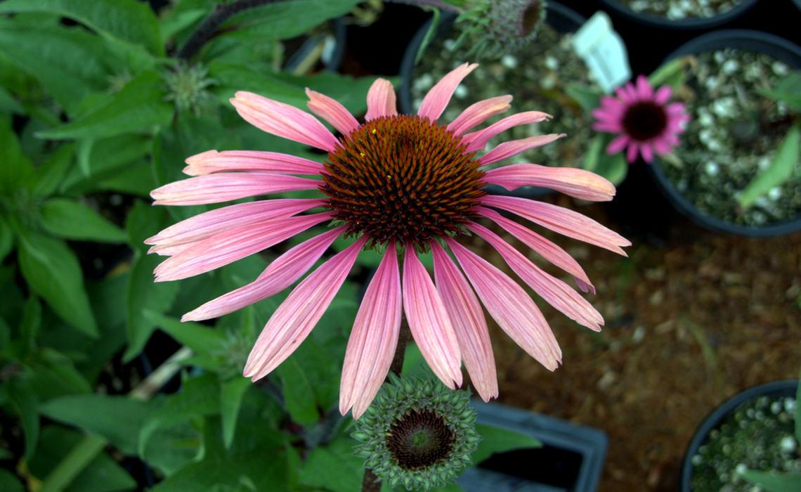 Perennial [CCBY-SA gillicious]