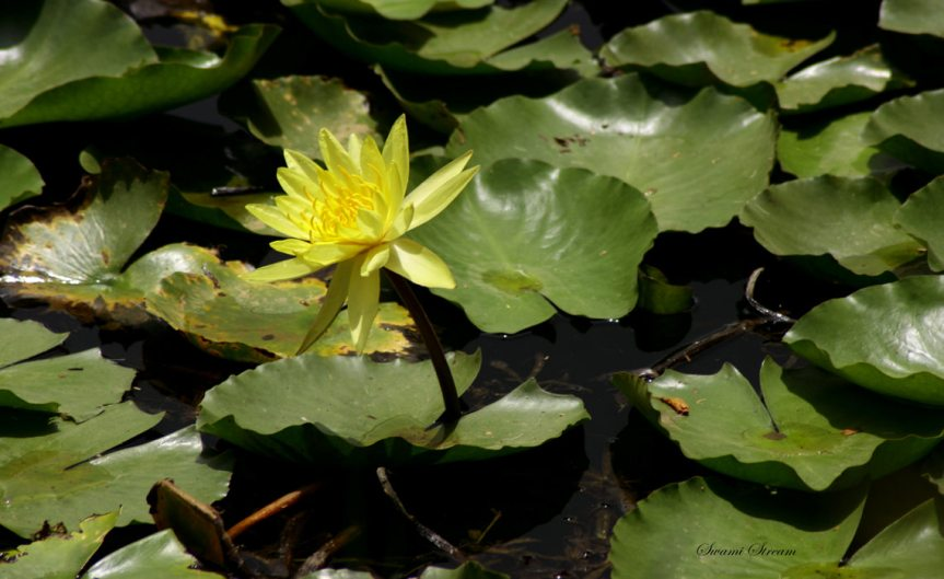 Waterplants [CCBY Swaminathan]