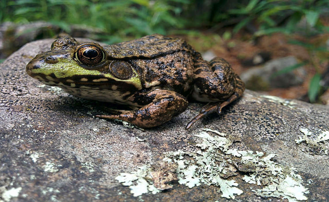 Frogs [CCBY USFWmidwest]