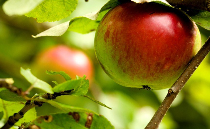 Apple [CCBY SharonMollerus]