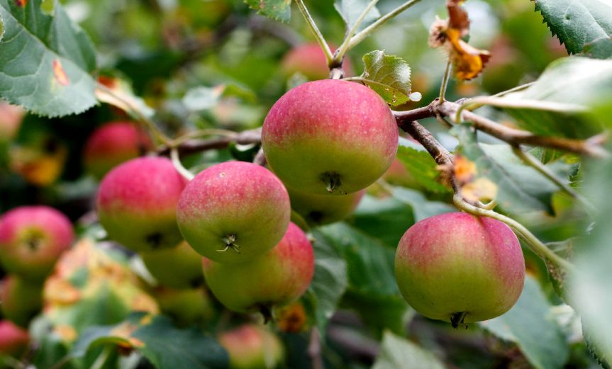 Apples [CCBY PhillipBulsink]