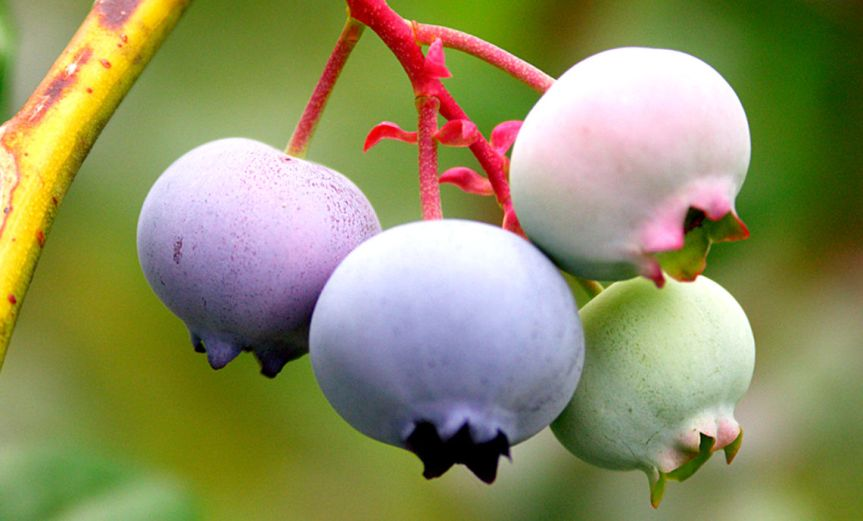 Blueberries [CCBY-SA ChuckGrimmett]