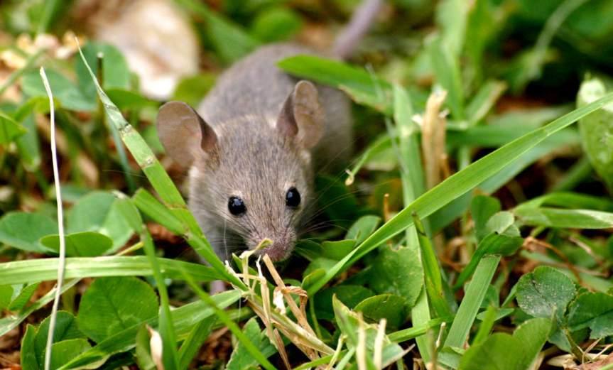 Mouse [CCBY MarkBray]