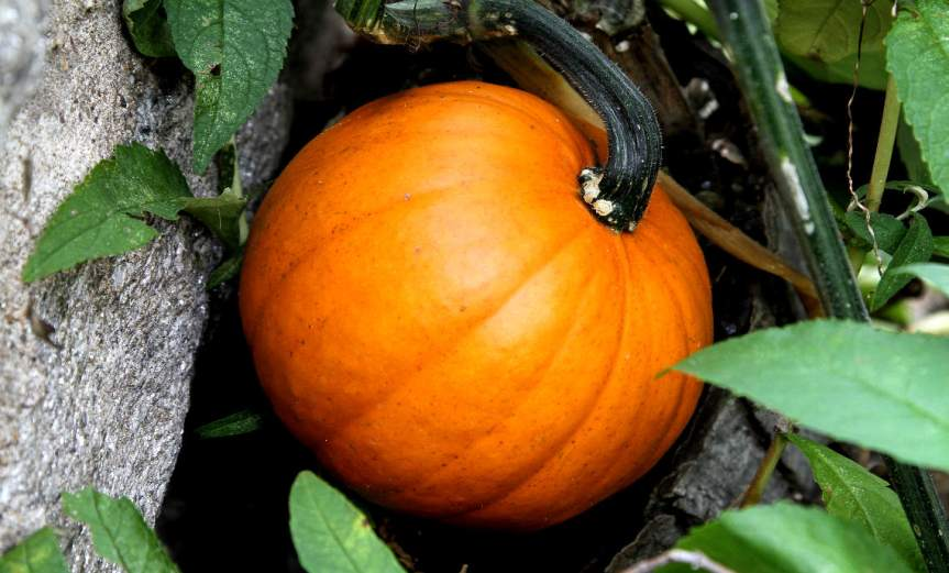 Pumpkin [CCBY JimThePhotographer]