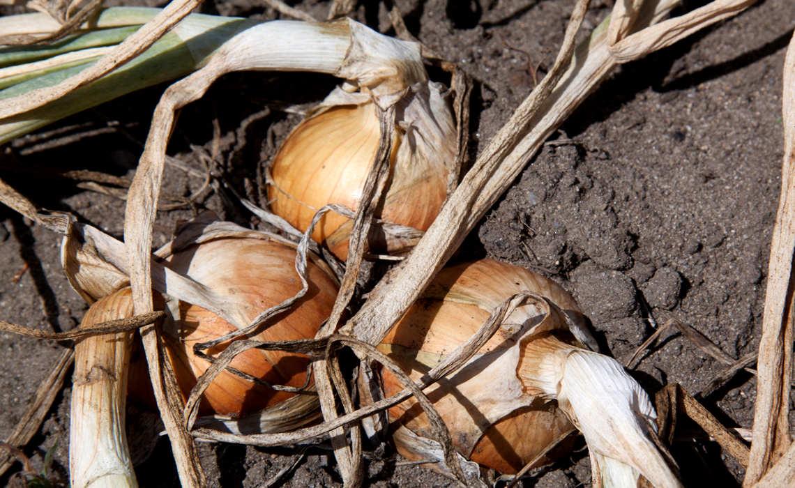 Roots [CCBY-SA TimSackton]