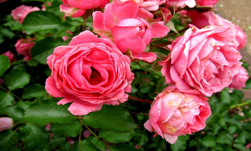 Rose [CCBY hitomatomi]