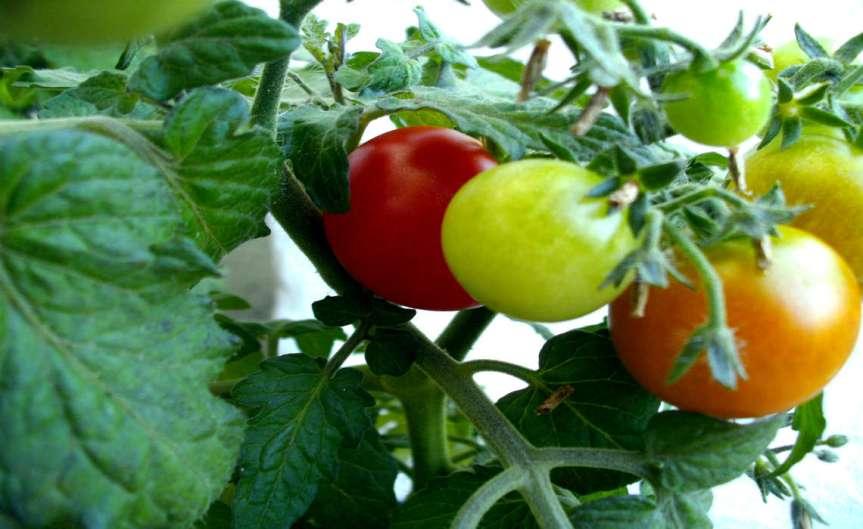 Tomatoes [CCBY Christoph Zurnieden]