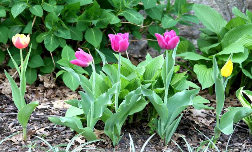 Tulips [CCBY JimthePhotographer]