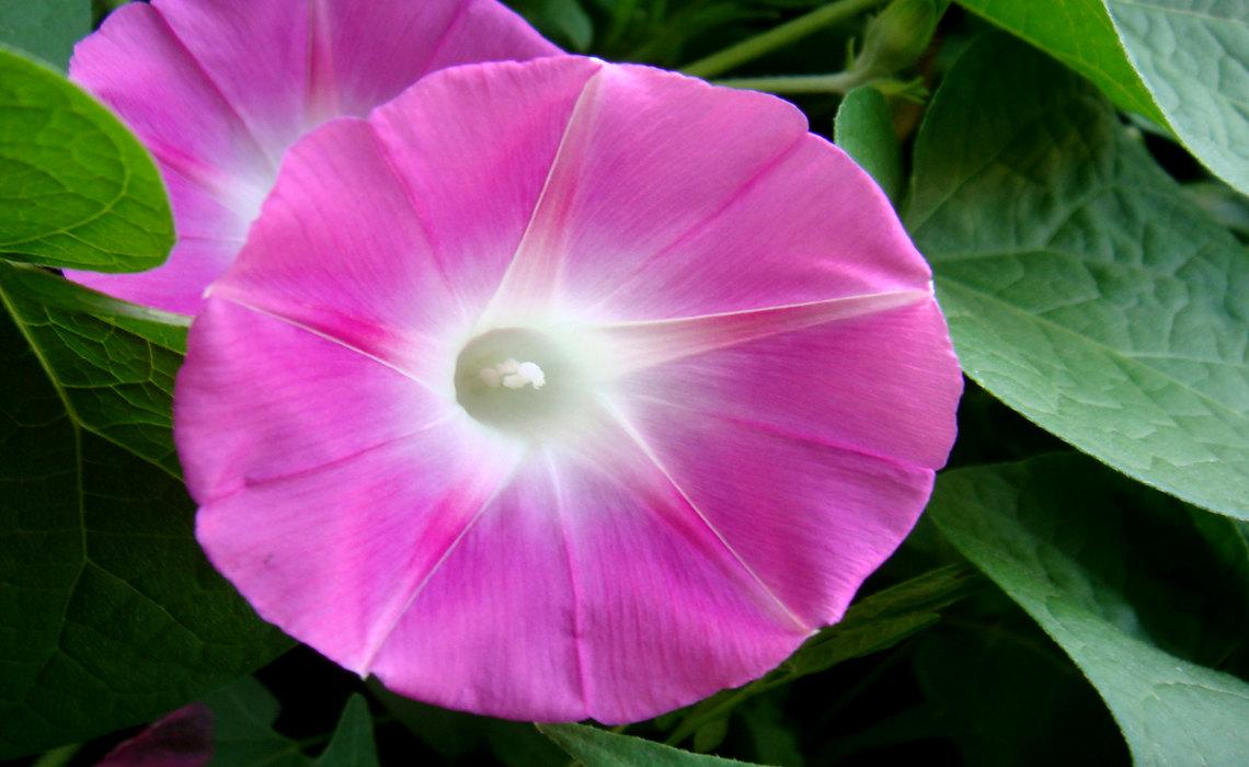 Violet [CCBY SA Pavin]