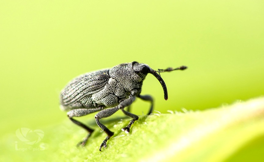 Weevil [CCBY-SA daswebweib]