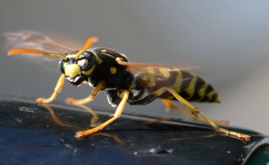 Wasp [CCBY slgckgc]