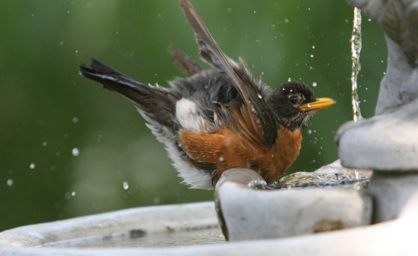 Robin [CCBY-SA LeeRuk]