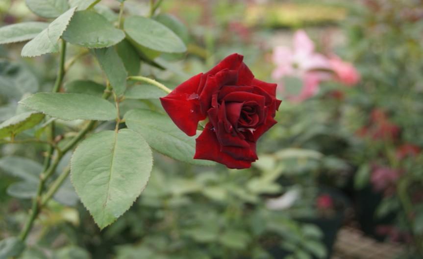 roselaves [CCBY-SA Anax44]