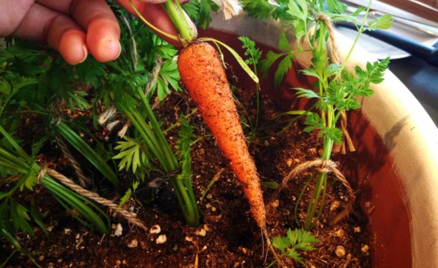 tiny carrot [CCBY missellyrh]