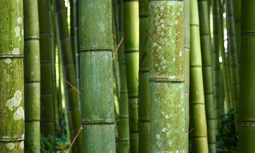 Bamboo [CCBY MoyanBrenn]