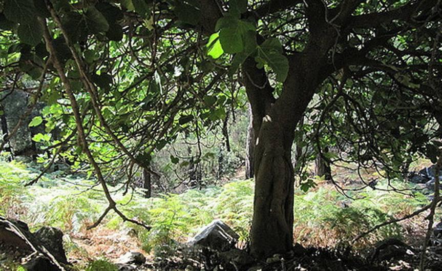 Figs [CCBY-SA Leonora Enking]
