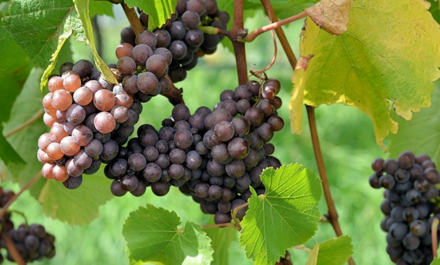 Grapes [CCBY Stefano Lubiana]