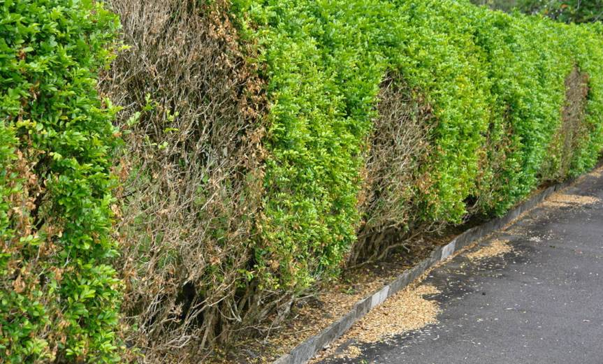 Hedge [CCBY-SA Scot Nelson]