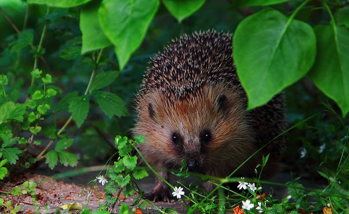 Hedgehog [CCBY KalleGustafsson]