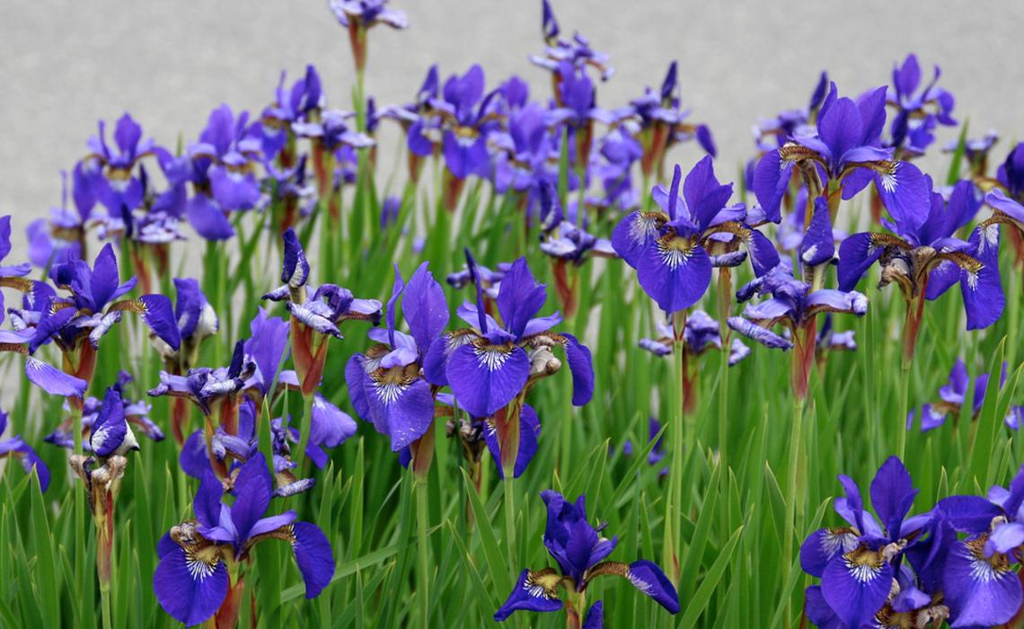 Irises [CCBY LizWest]