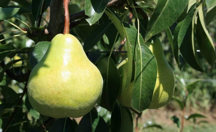 Pears [CCBY AppleAndPearsAustralia]
