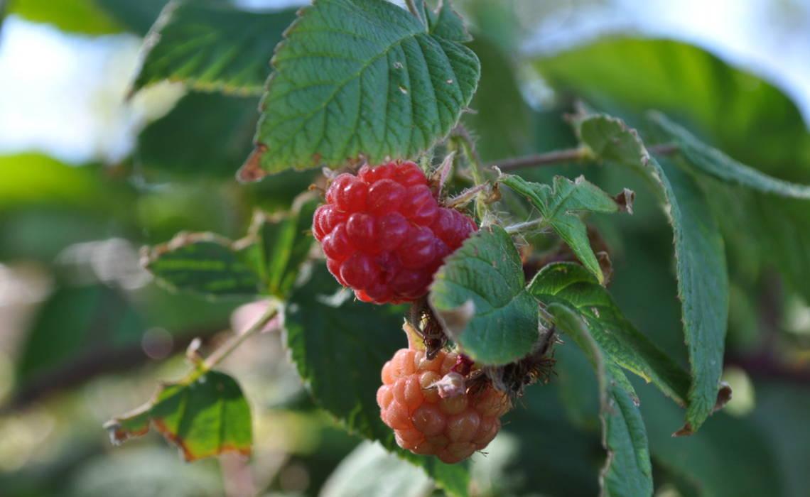 Raspberry [CCBY-SA ChrisLindholm]