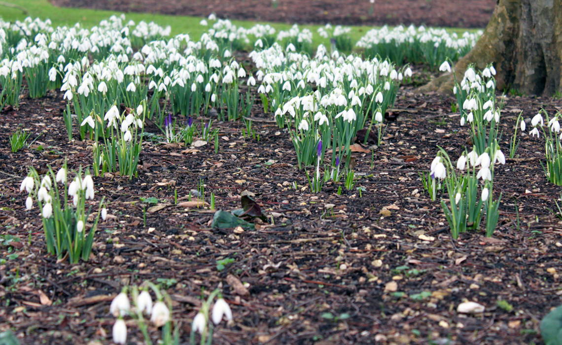 Snowdrops [CCBY Tejvan Pettinger]