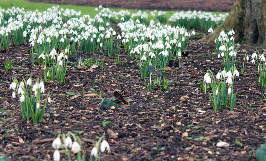Snowdrops [CCBY Tejvan Pettinger]