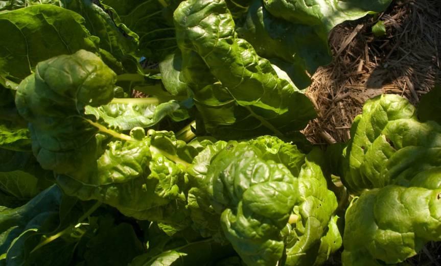 Spinach [CCBY RaeAllan]