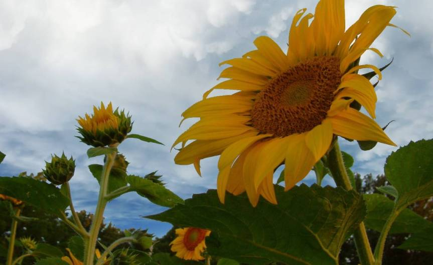 sunflower [CCBY Jeff Futo]