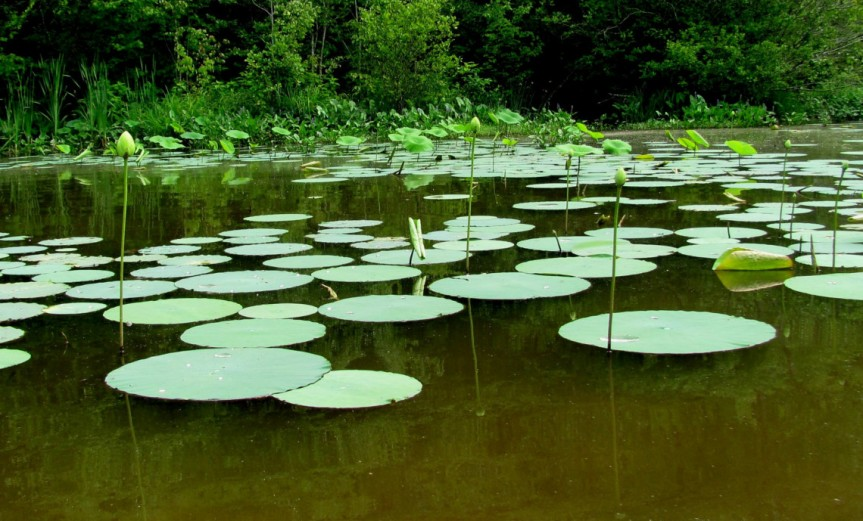 Waterlilies [CCBY ted]