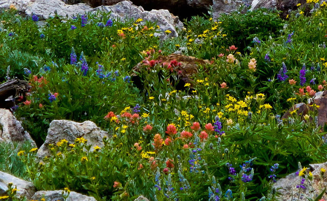 Wildflowers [CCBY Utahwildflowers]