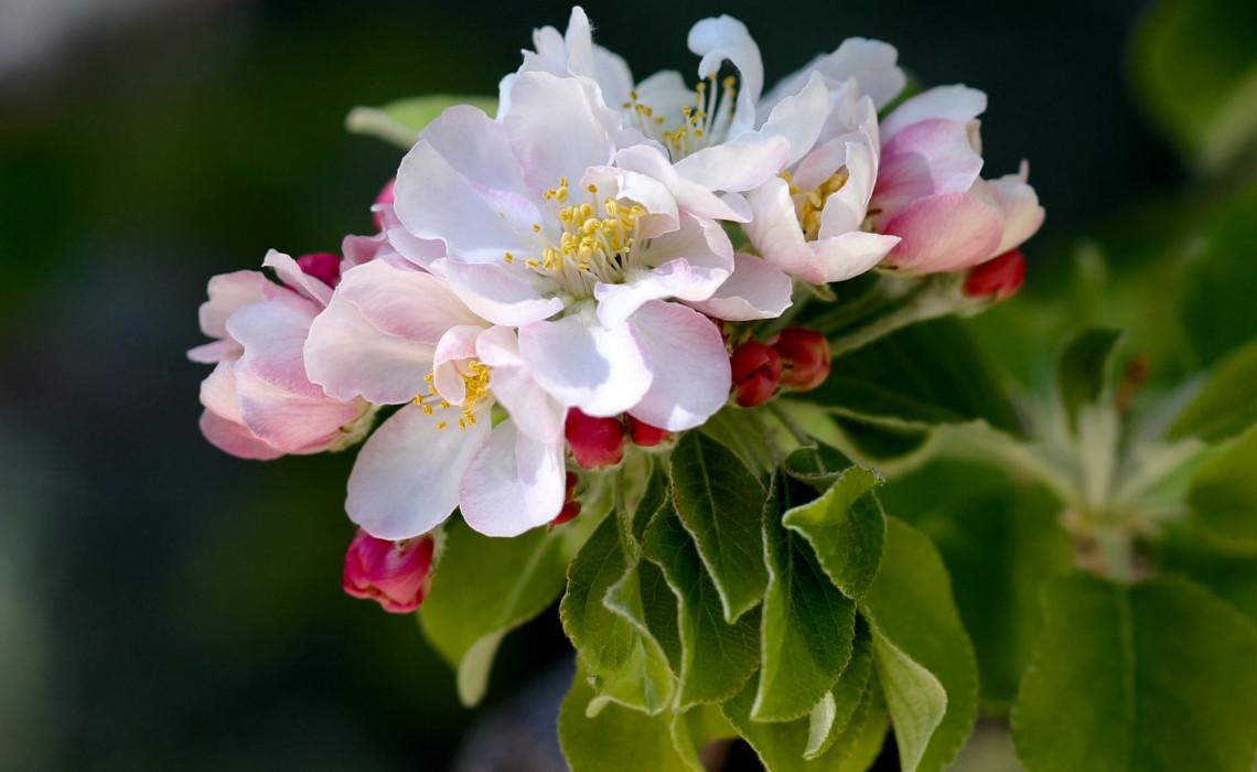 AppleBlossom [CCBY Renee]