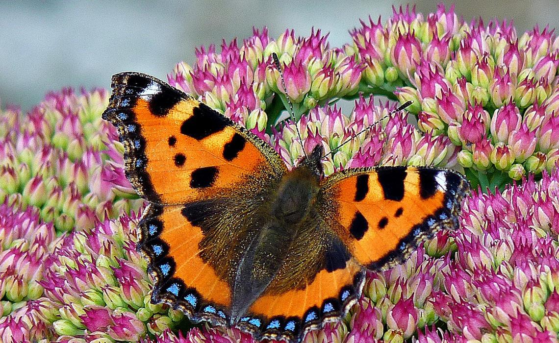 butterfly [CCBY cazstar]