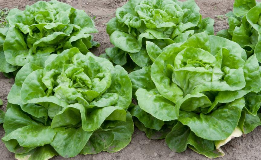 Lettuce [CCBY Dwight Sipler]