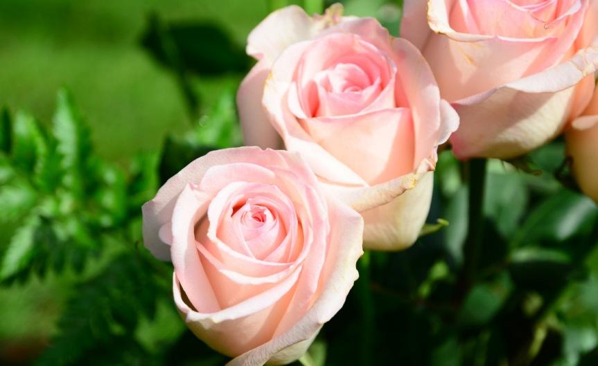 Roses [CCBY slgckgc]